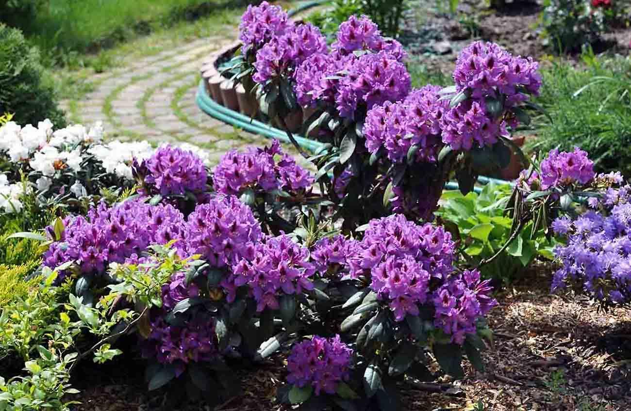 Gėlė Azalija