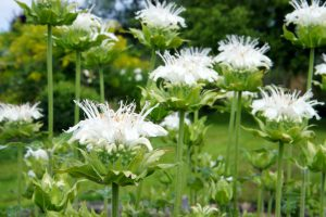 Balta Gėlė Monarda