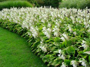 Baltai žydinčios gelsvės