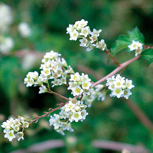 Baltai žydintis krūmas (Karpytalapė Stefanandra incisa)