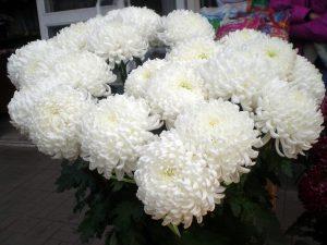 Baltos chrizantemos