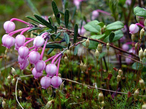 Gėlės nuotrauka. (Pavadinimas: Bog-rosemary)