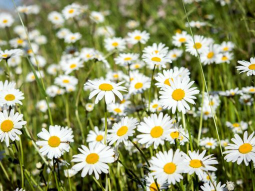 Gėlės nuotrauka. (Pavadinimas: Mayweed)
