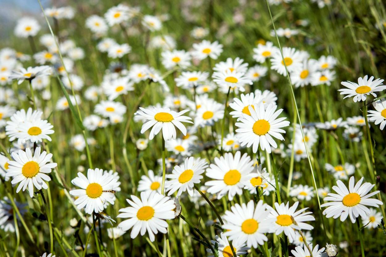 Gėlė Bobramunis