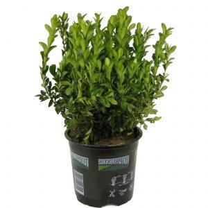 Buksmedis vazone (buxus)