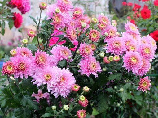 Gėlės nuotrauka. (Pavadinimas: Chrysanths)