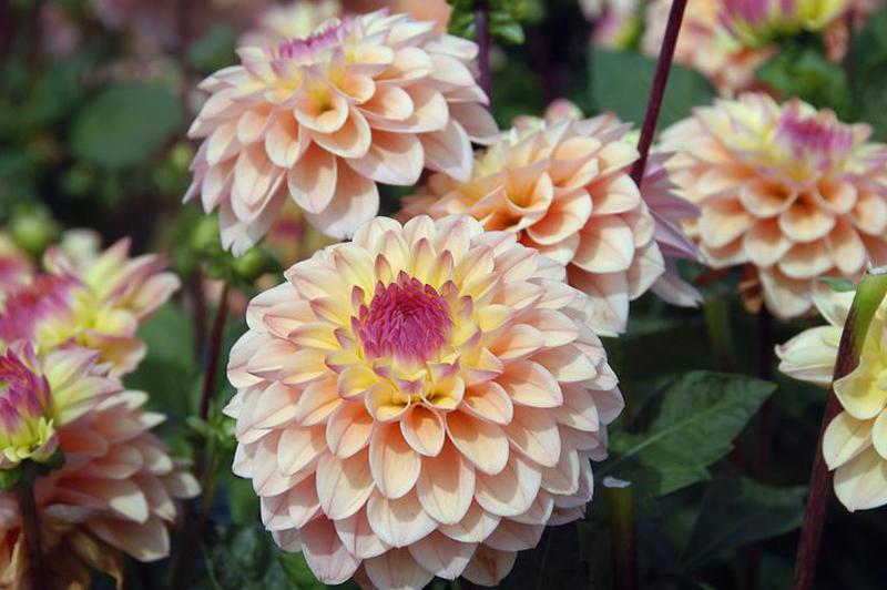 Žydinčios chrizantemos (gėlės)