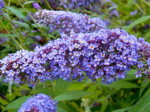 Gėlės nuotrauka. (Pavadinimas: Butterfly bush)