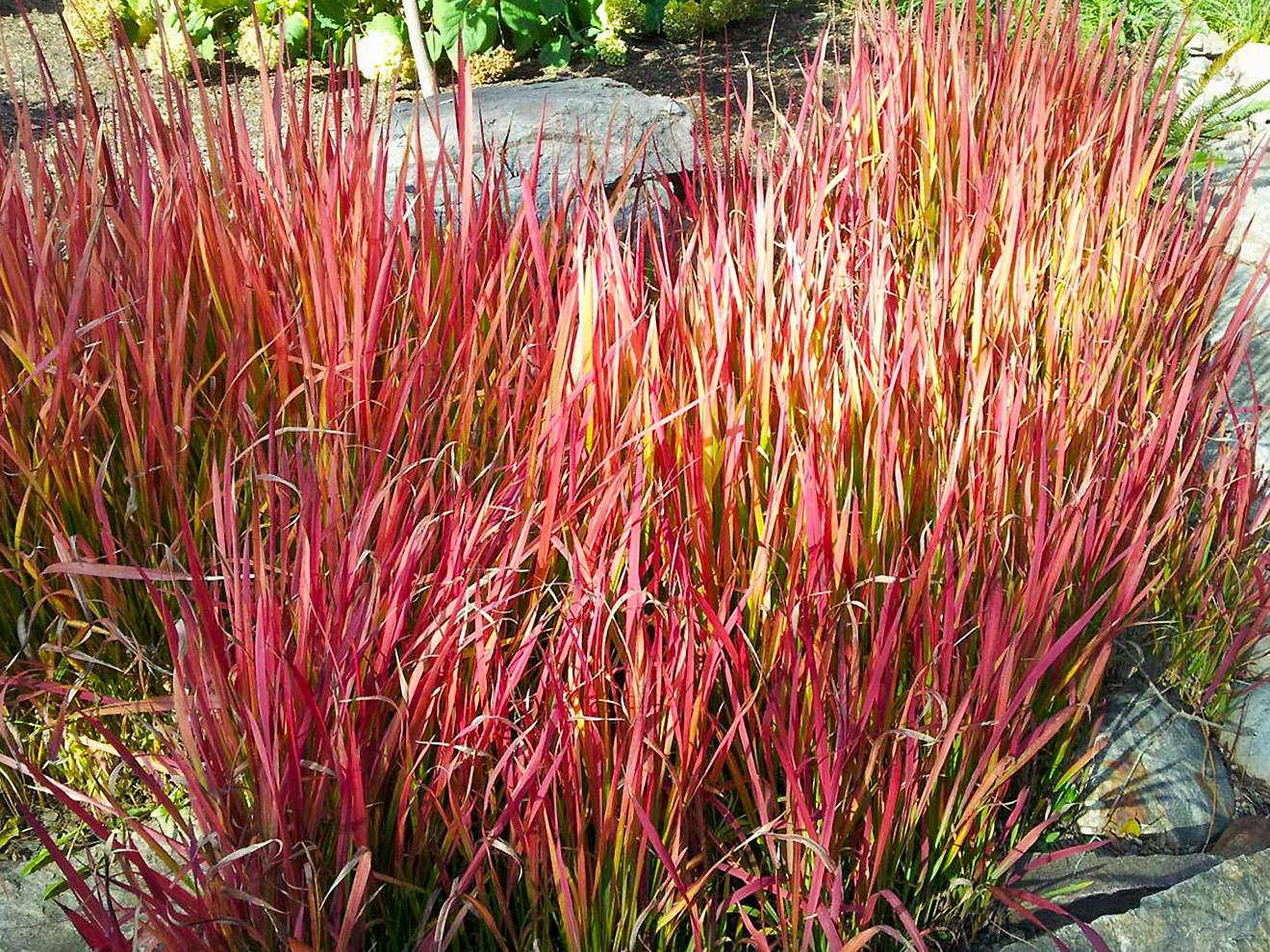 Dekoratyvi raudona žolė 'Imperata'