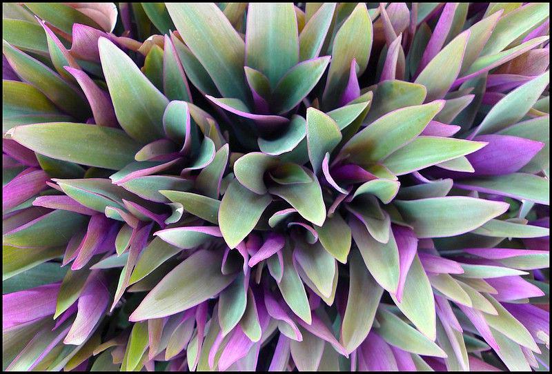 Dekoratyvinė lapinė gėlė Rėjus
