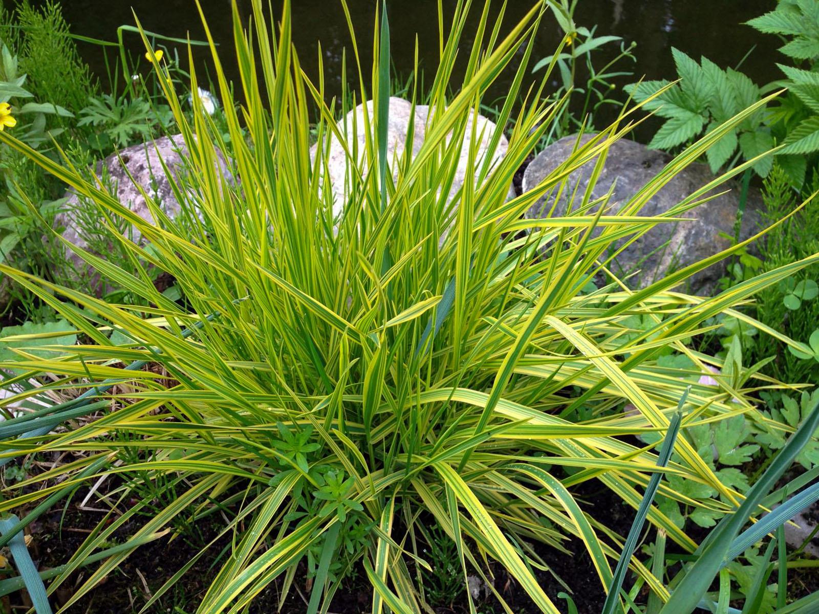Dekoratyvinė žolė 'pasišiaušėlis'