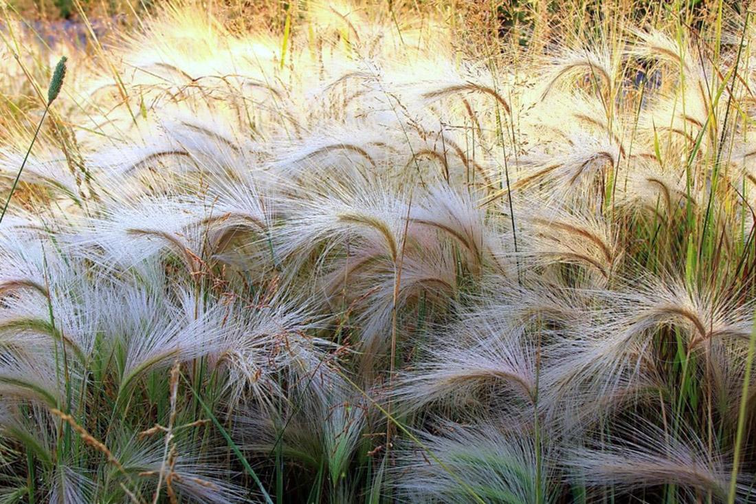 Dekoratyvinės žolės - smilgos