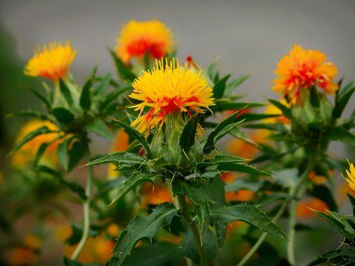 Gėlės nuotrauka. (Pavadinimas: Safflower)