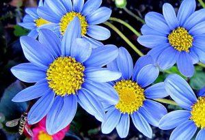 Gėlė felicija bergeriana