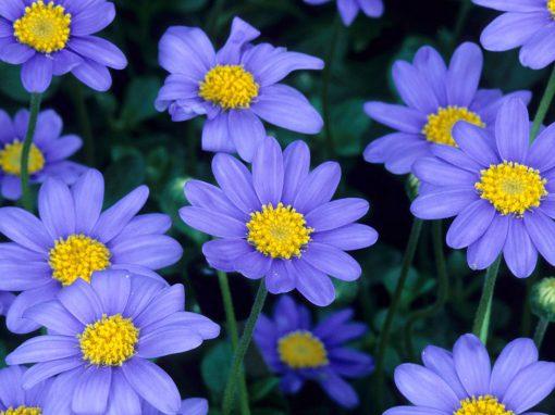 Gėlės nuotrauka. (Pavadinimas: Blue felicia)