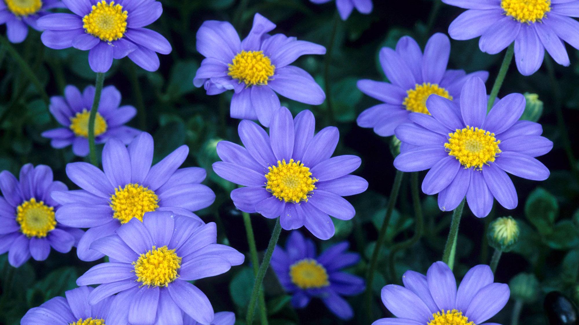 Gėlė Felicija
