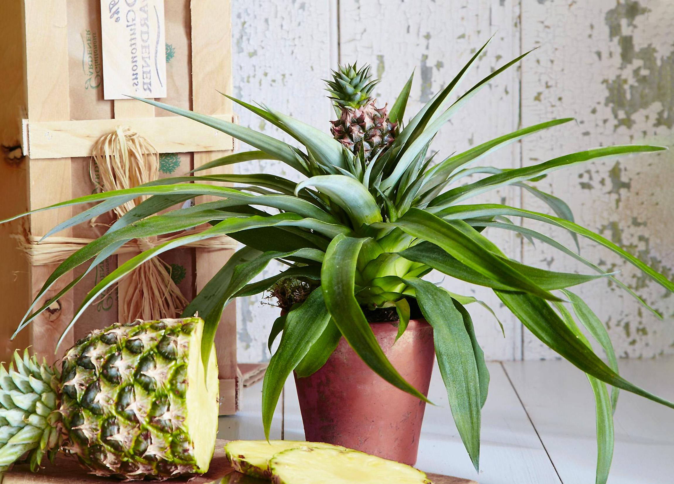 Gėlė Ananasas