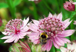 Gėlė astrancija