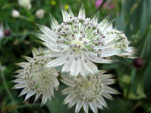 Gėlė astrantija (alba)