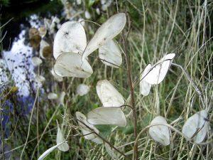 Gėlė Blizgė (Džiovinta)