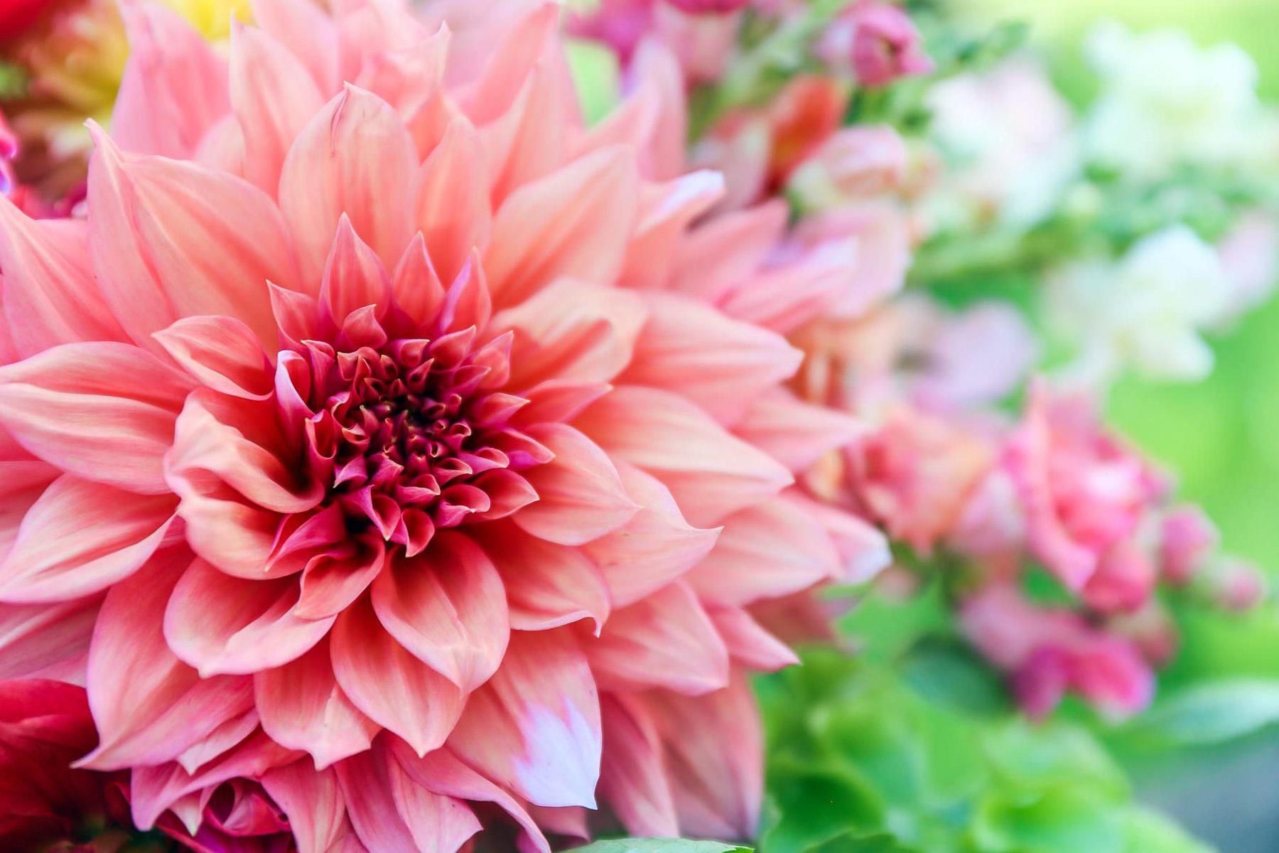 Gėlė chrizantema (didelis žiedas)