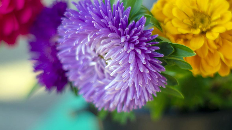 Gėlė chrizantema (melsvais žiedais)