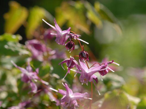Gėlės nuotrauka. (Pavadinimas: Epimedis)