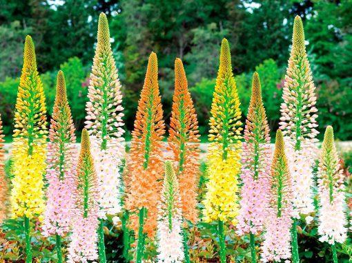 Gėlės nuotrauka. (Pavadinimas: Foxtail Lilies)
