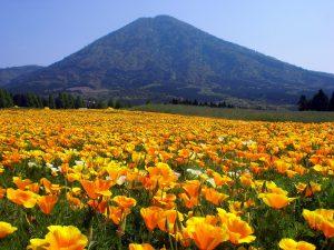 Gėlė ešolcija auga natūraliai gamtoje