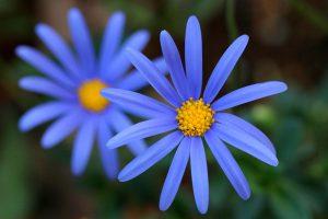 Gėlė felicija amoena
