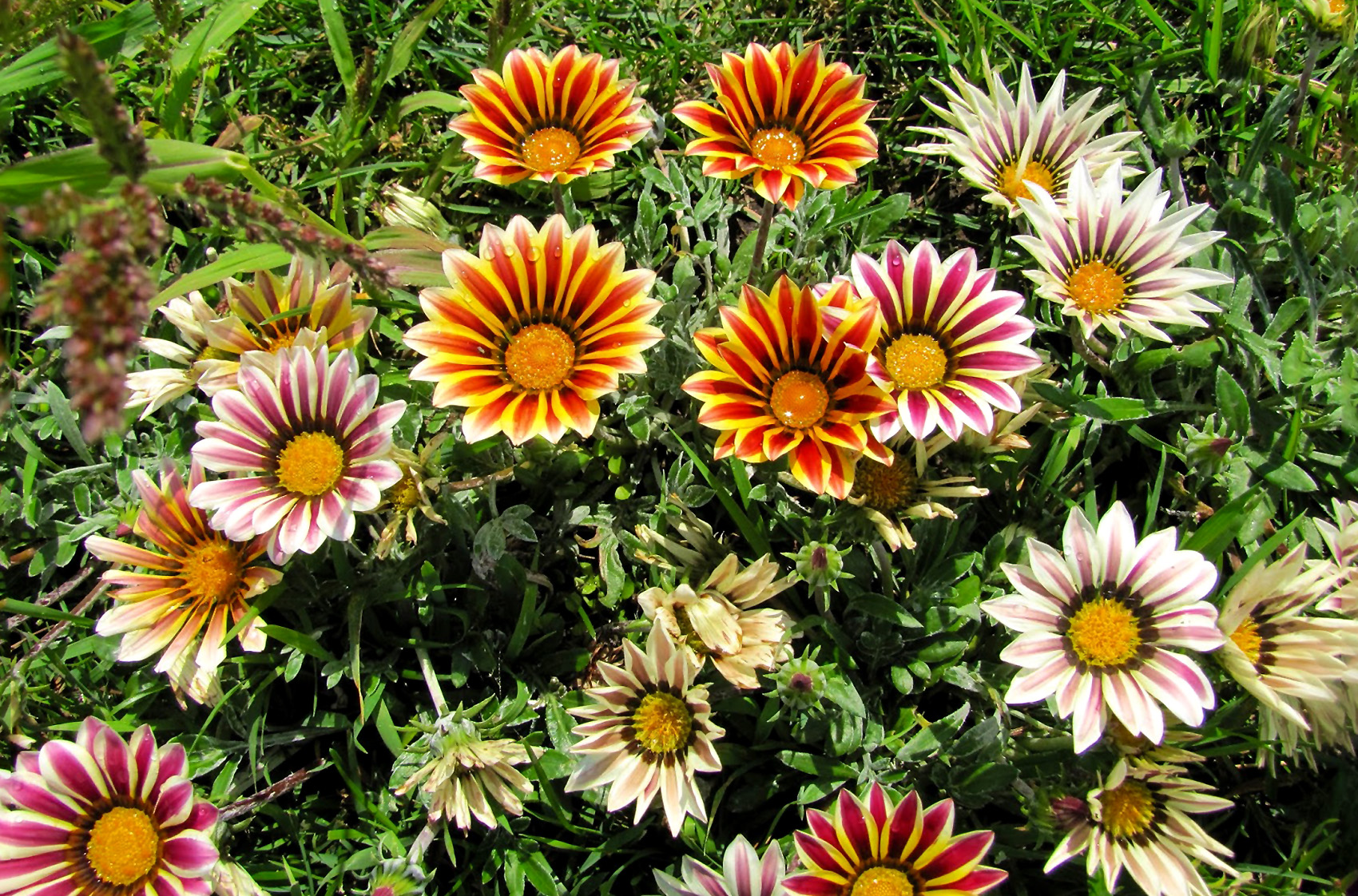 Gėlė Gazanija