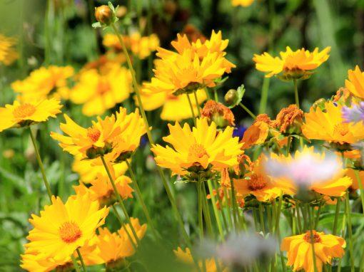 Gėlės nuotrauka. (Pavadinimas: Tickseed)