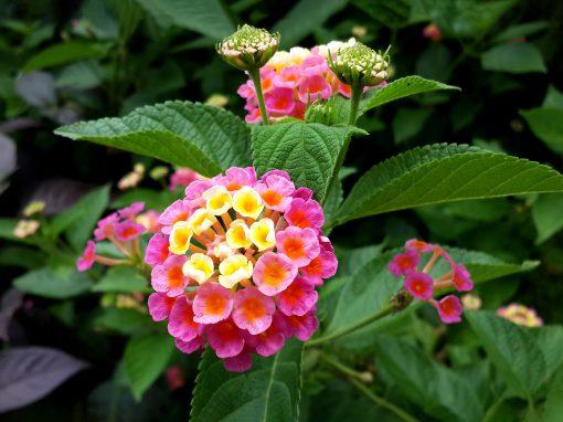 Gėlės nuotrauka. (Pavadinimas: Lantanas)