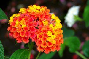 Gėlė lantana (žiedas)