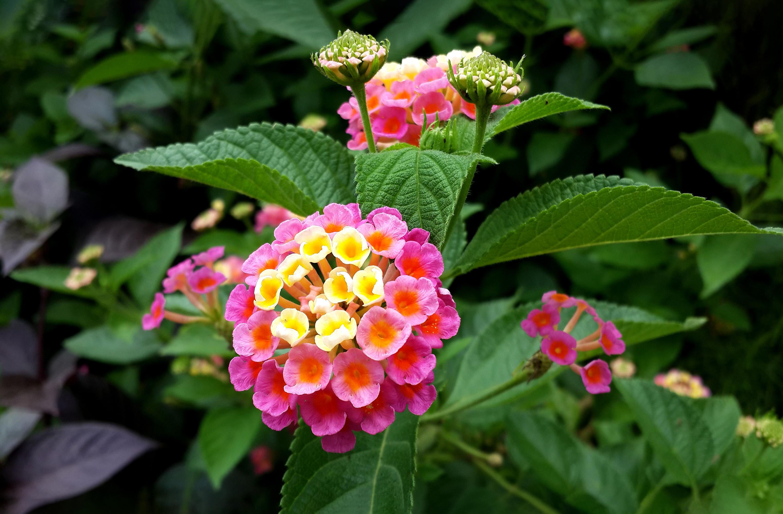 Gėlė Lantana