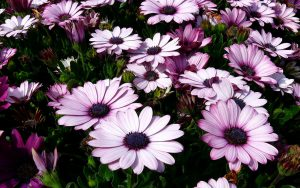 Gėlė laumakė (dimorfoteka)