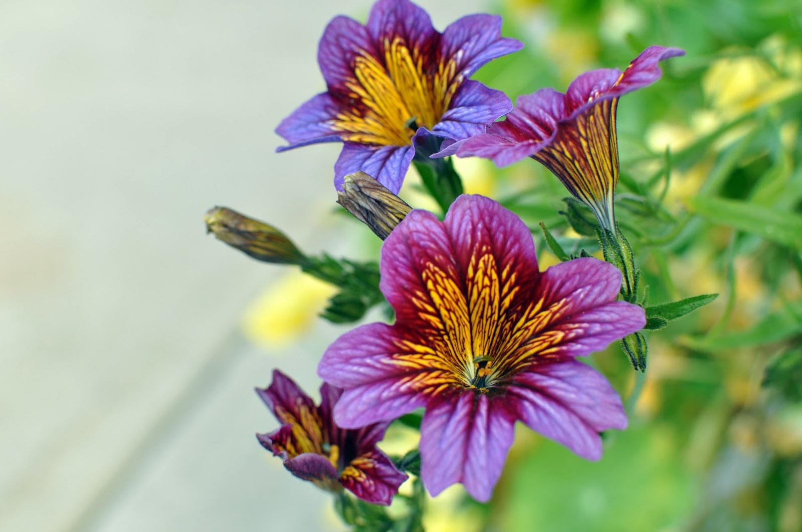 Gėlė lenktažiedis trimičius