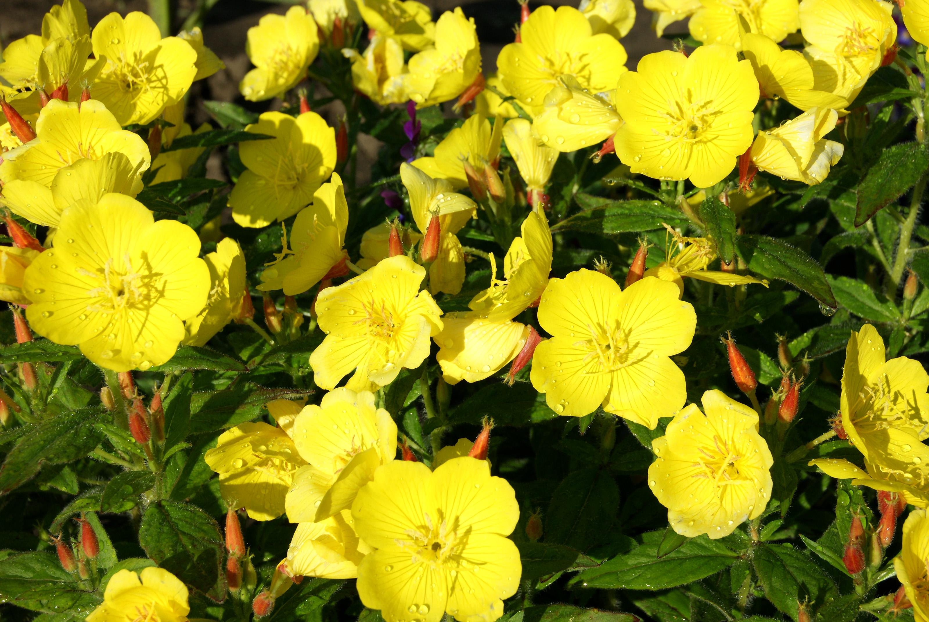 Nakviša (gėlė)