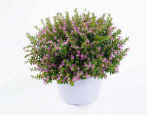 Gėlė paprastoji kuprutė (cuphea)