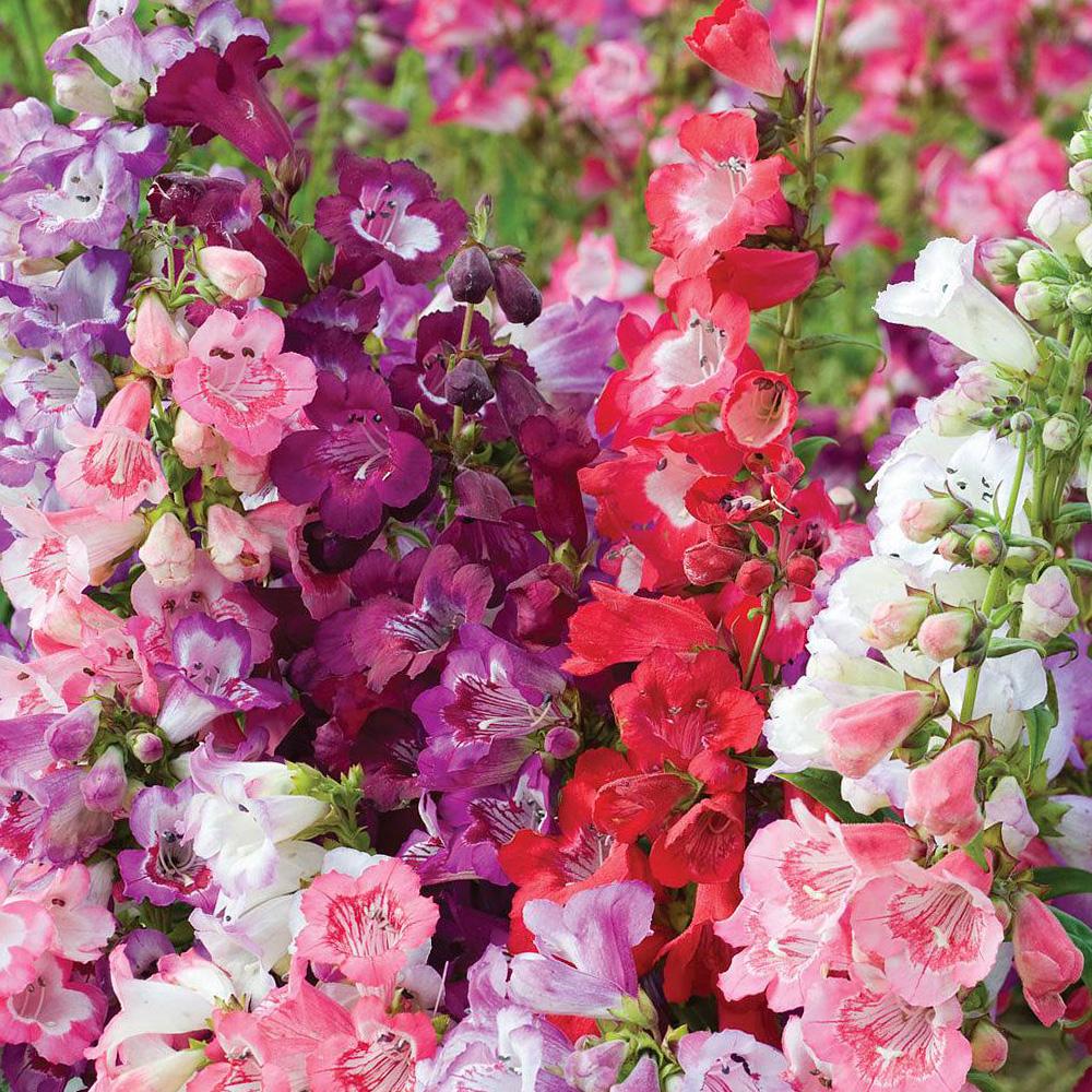 Gėlės penstemonai
