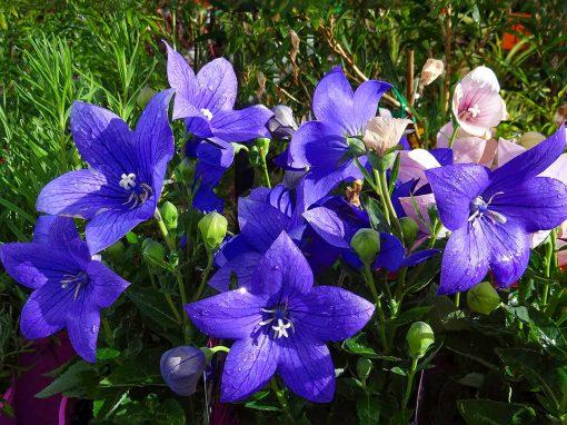 Gėlės nuotrauka. (Pavadinimas: Platycodon grandiflorum)