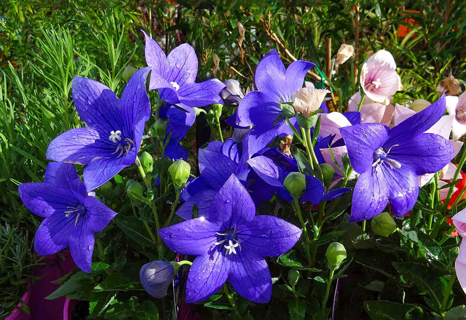 Plačiavarpis (gėlė)