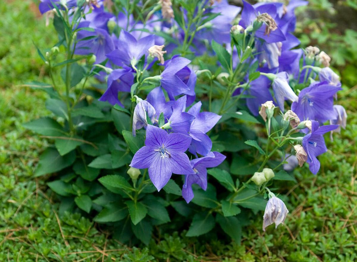 Gėlė plašvarpis (platycodon)