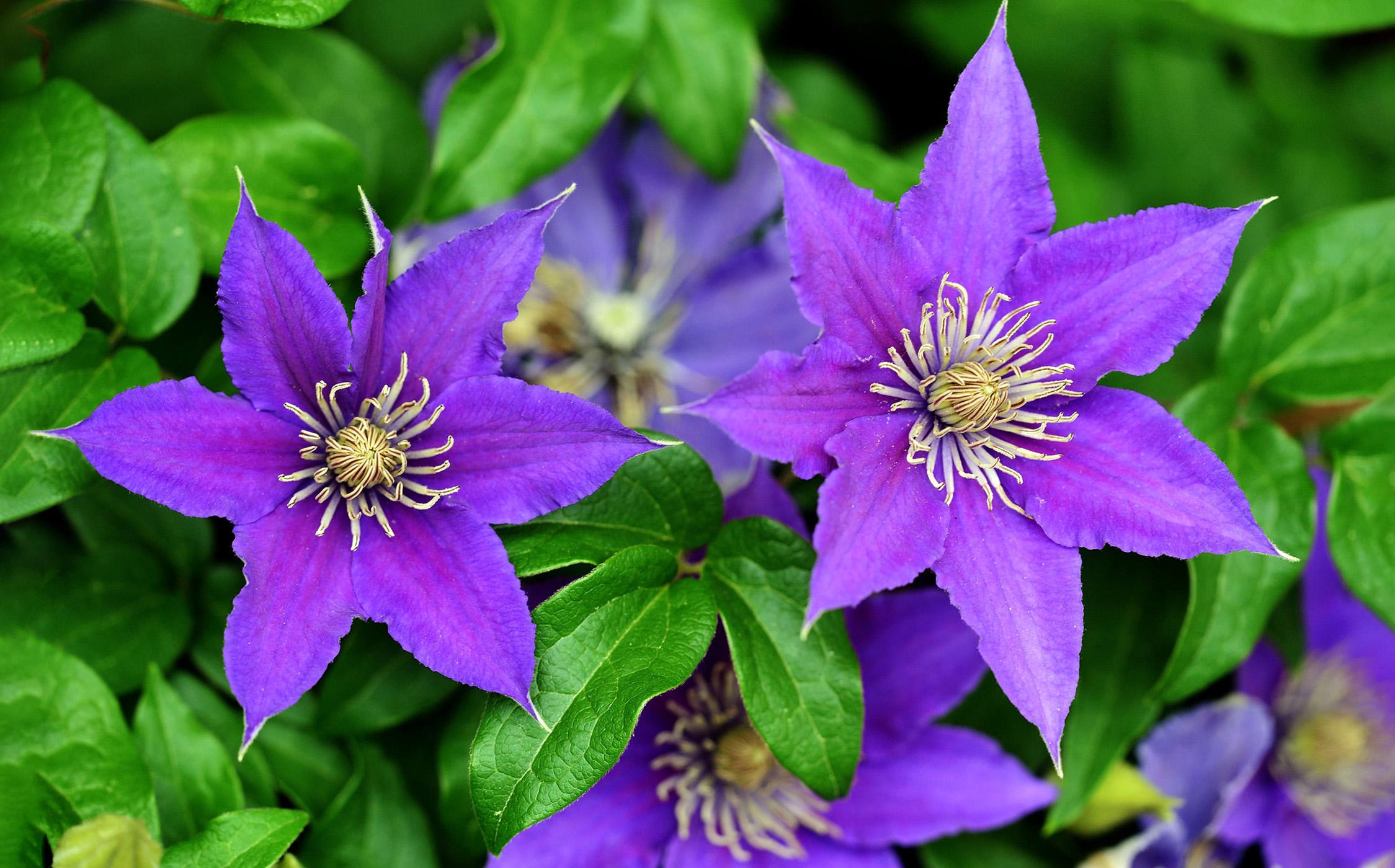 Gėlė raganė (Melsvai violetiniai vijoklio žiedai)