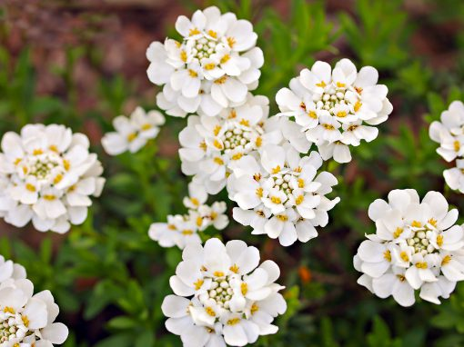 Gėlės nuotrauka. (Pavadinimas: Rudgrūdėlė)