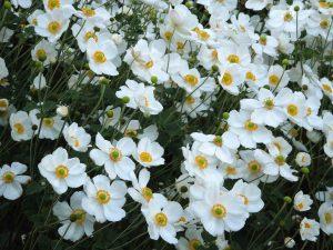 Gėlė saulenis
