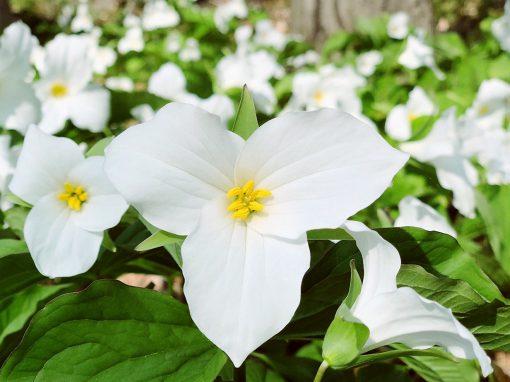 Gėlės nuotrauka. (Pavadinimas: Birthroots)