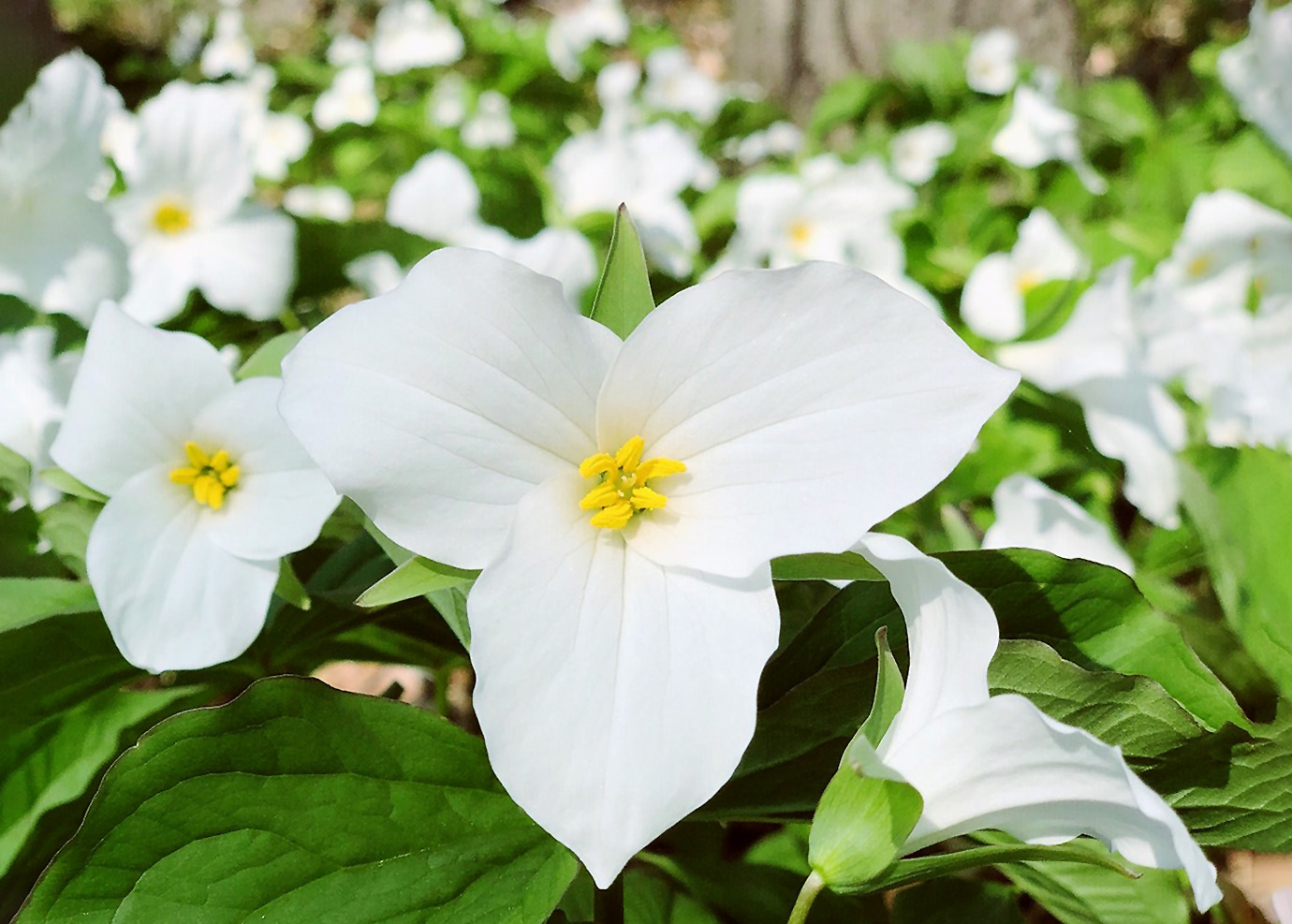 Gėlė Trilija