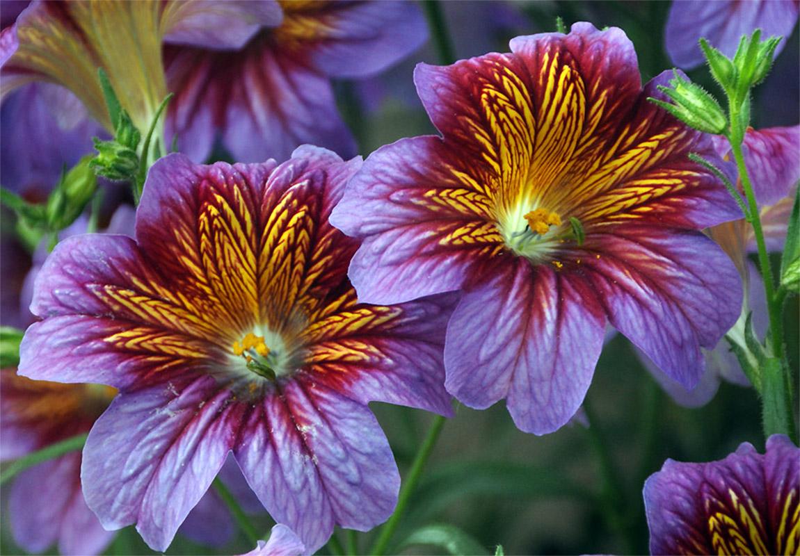 Gėlė trimičius