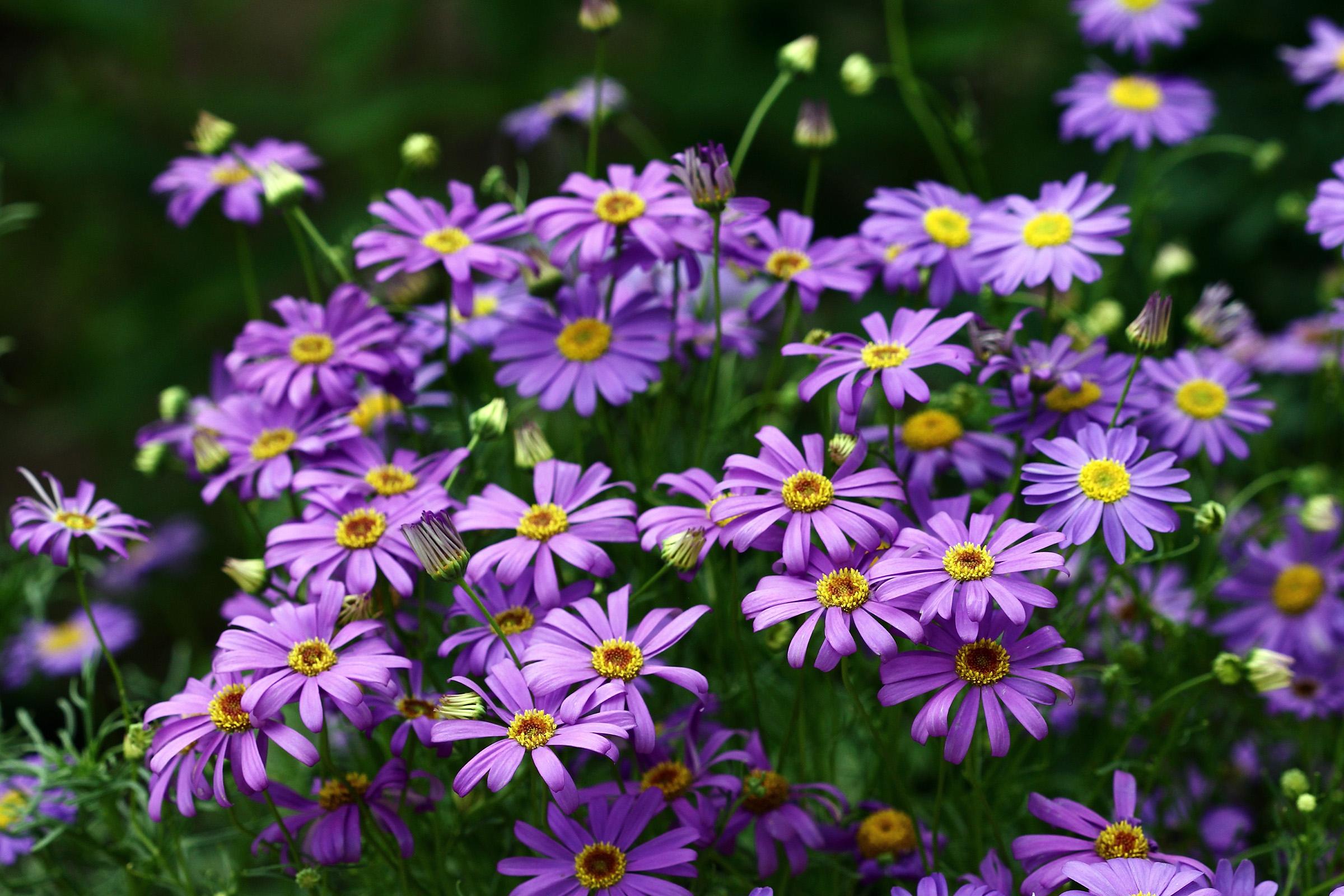 Gėlė Trumpakuodė
